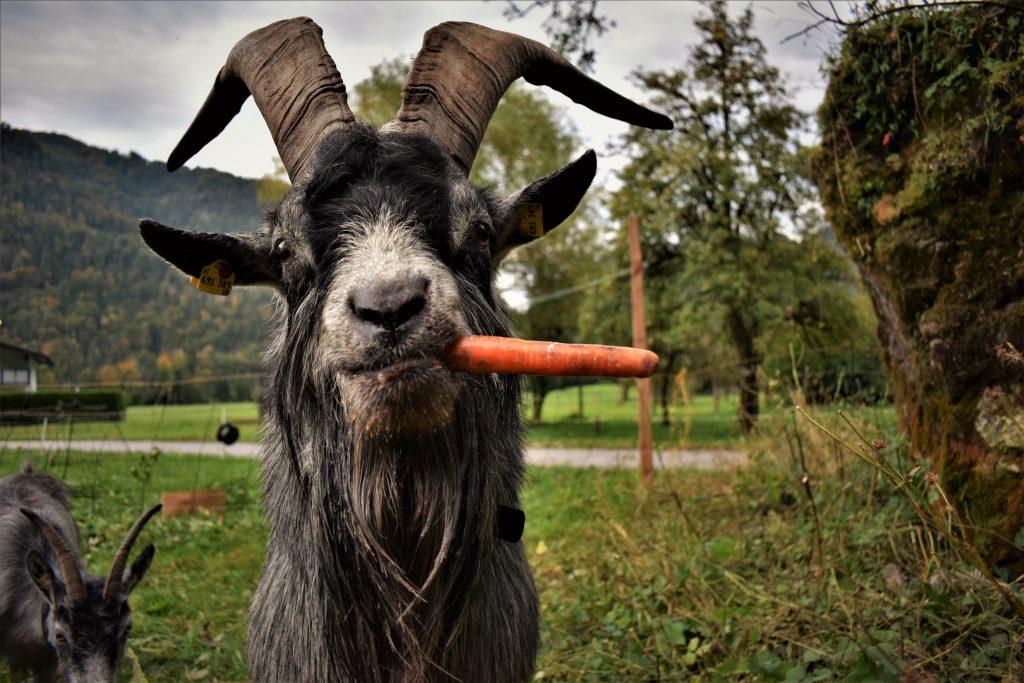 bock blobe goas Austria mit Karotte